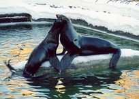 Из анапского дельфинария сбежал морской котик Миша, фото — «Рекламы Кубани»