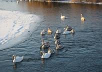 В Краснодаре пересчитают водоплавающих птиц, фото — «Рекламы Кубани»