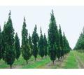 Саженцы деревьев и кустарников оптом - Саженцы, растения в Крыму