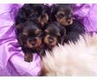 Продам  щенки йорков и чихуа срочно недорого, фото — «Реклама города Саки»
