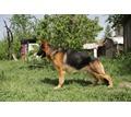 Питомник немецких овчарок - Собаки в Крыму