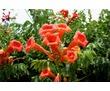 Продам многолетние цветы недорого, фото — «Реклама Севастополя»