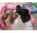 йорки и чихуа щенки классные - Собаки в Саках