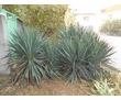 продам растения типа пальмы, фото — «Реклама Севастополя»