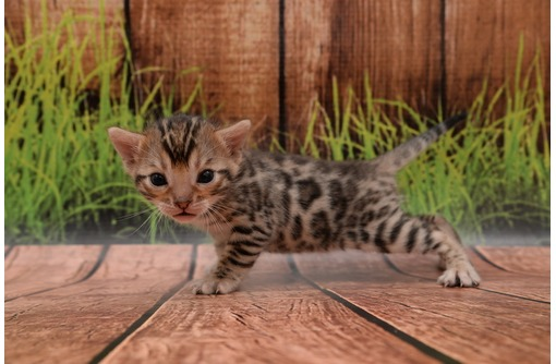 Бенгальские котята, мальчики и девочки !, фото — «Реклама Севастополя»