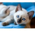 Продаются очаровательные Тайские (старосиамские) котята - Кошки в Симферополе