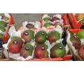 Продаем манго из Испаниии - Продукты питания в Ялте