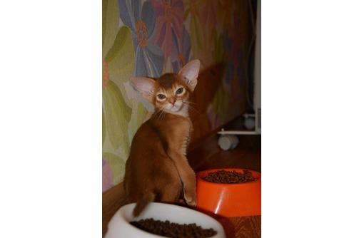Абиссинские котята в Ваш дом, фото — «Реклама Симферополя»