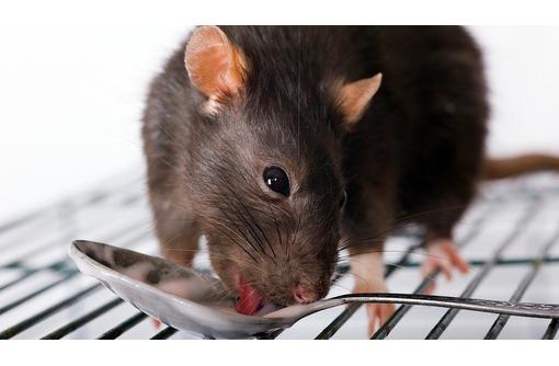 Истребим крыс и мышей! Уничтожим всех насекомых! От личинок до взрослых особей! 100 % эффект!, фото — «Реклама Армянска»