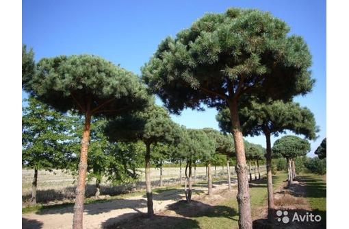 Саженцы деревьев, кустарников, цветов   оптом, фото — «Реклама Севастополя»
