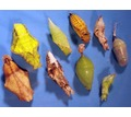 Продажа куколок бабочек тропических видов в Крыму - Собаки в Бахчисарае