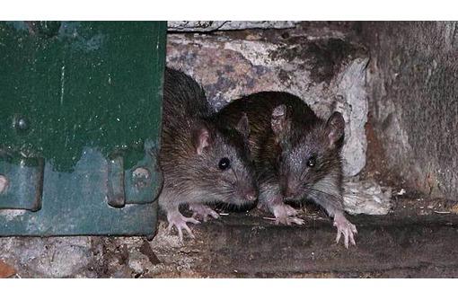 Дератизация ( уничтожение всех видов грызунов) в Коктебеле! Дезинфекция и Дезинсекция! Все документы, фото — «Реклама Коктебеля»