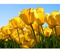 Thumb_big_tulips