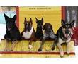 Дрессировка собак индивидуально и в группах, фото — «Реклама Севастополя»
