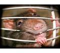 Дератизация! Истребление крыс, мышей и других грызунов с 1 раза! Безопасно! Анонимно! Жмите! - Клининговые услуги в Крыму