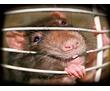 Дератизация! Уничтожение крыс и мышей с 1 раза! Безопасно для людей и животных! Анонимно! Жмите!, фото — «Реклама Севастополя»