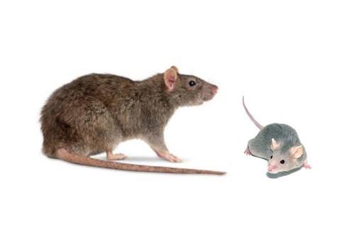 Мыши и крысы! Не приятные соседи ,вредители и разносчики различных болезней! Устраним с гарантией!, фото — «Реклама Алушты»