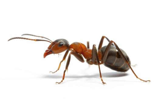 Как избавиться от муравьев в Алупке быстро, эффективно, безопасно, с гарантией? Звоните нам!, фото — «Реклама Алупки»