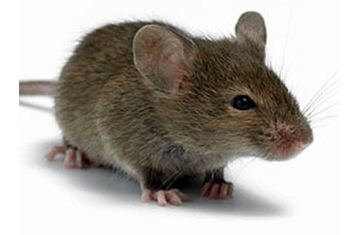 Мыши поселились по соседству? Профессиональная дератизация (уничтожение мышей)! Безопасно! Жмите!, фото — «Реклама Белогорска»
