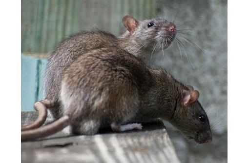 Истребим грызунов, Севастополь, фото — «Реклама Севастополя»