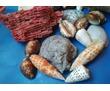 продам коллекционные раковины, фото — «Реклама Симферополя»