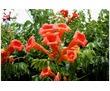 Продам многолетние цветы недорого со своего участка в центре города:  - Юкка, фото — «Реклама Севастополя»