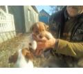 Щенки Джек Рассел терьер чистокровные - Собаки в Крыму