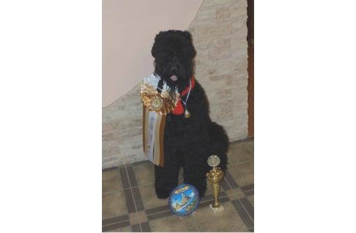 Щенки русского черного терьера. Алушта, фото — «Реклама Алушты»