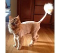 Thumb_big_lion-cut-orange-cat
