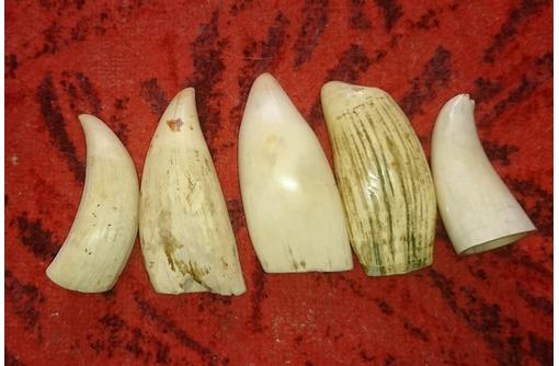 Дороже куплю зубы кашалота, рога оленя, лося, кость слона, мамонта, моржа,носорога, фото — «Реклама Севастополя»