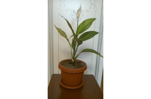 продам комнатный цветок спатифиллум, фото — «Реклама Севастополя»