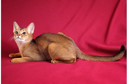 Продаются абиссинские котятки !, фото — «Реклама Севастополя»