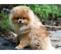 Подрощенный мальчик померанчик - Собаки в Ялте
