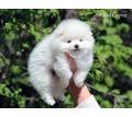 Белоснежный мальчик померанец - Собаки в Ялте