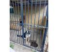 Овчарка Немецкая ! (отборная ) - Собаки в Старом Крыму