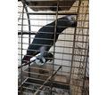 Продам попугая Жако с большой клеткой - Птицы в Севастополе