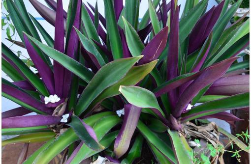 Растение Рео или Традесканция покрывальчатая: экзотика на подоконнике, фото — «Реклама Севастополя»