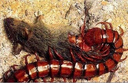 Уничтожение сколопендр за 30 минут в Судаке! Гарантия уничтожения -100%! 24/7 !, фото — «Реклама Судака»