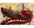Уничтожение сколопендр за 30 минут в Черноморском! Гарантия уничтожения -100%! 24/7 !, фото — «Реклама Черноморского»