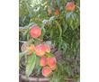 Продам сад персика и черешни вблизи села Угловое, фото — «Реклама Бахчисарая»