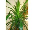 Панданус или винтовая пальма - Саженцы, растения в Севастополе