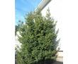 Продам под срез (для коммерции )большое лавровое дерево, фото — «Реклама Алушты»