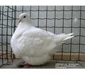 Голуби мясных пород,- Мондены ,Тексаны ... - Птицы в Крыму
