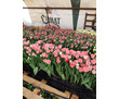 Тюльпаны оптом к 8 марта от собственника, фото — «Реклама Севастополя»
