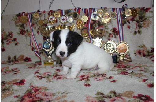 Настоящие щенки Джек-рассел терьера, фото — «Реклама Севастополя»
