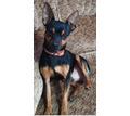 Вязка собак породы  Той-терьер - Собаки в Бахчисарае