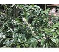 Саркококка зимний ландыш - Саженцы, растения в Ялте