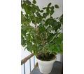 Продам  комнатные розу и пальму - Саженцы, растения в Севастополе