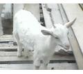 Сельхоз животные (козочки) - Сельхоз животные в Севастополе