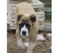 Продам щенков среднеазиатской овчарки - Собаки в Севастополе